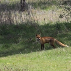 Vulpes vulpes (Red Fox) at Holt, ACT - 27 Sep 2021 by Tammy
