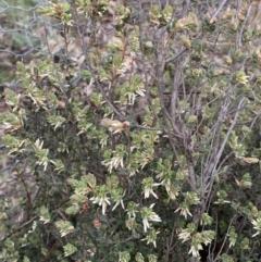 Brachyloma daphnoides (Daphne Heath) at Corrowong, NSW - 27 Sep 2021 by BlackFlat
