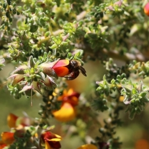 Unidentified Bee (Hymenoptera, Apiformes) (TBC) at suppressed by Kyliegw