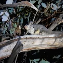Petaurus notatus (Krefft's Glider) at Carwoola, NSW - 26 Sep 2021 by Liam.m