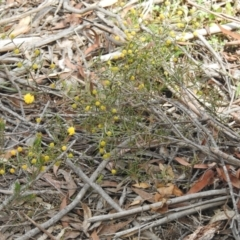 Acacia brownii (Heath Wattle) at Krawarree, NSW - 27 Sep 2021 by Liam.m