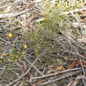 Acacia brownii (Heath Wattle) at suppressed by Liam.m