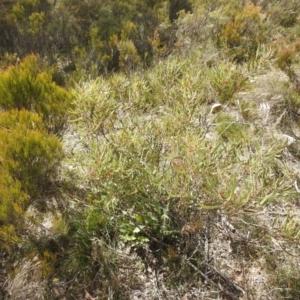 Acacia dawsonii (TBC) at suppressed by Liam.m