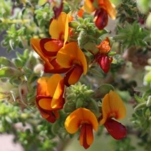 Pultenaea foliolosa (Small Leaf Bushpea) at Glenroy, NSW by Kyliegw