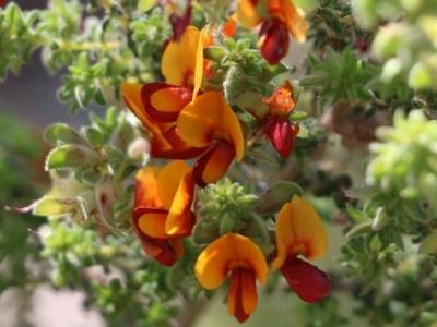 Pultenaea foliolosa (Small Leaf Bushpea) at Glenroy, NSW - 26 Sep 2021 by Kyliegw
