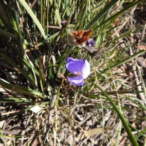 Patersonia sericea var. sericea (Silky Purple-flag) at suppressed by Liam.m