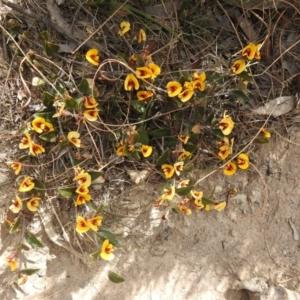 Mirbelia platylobioides (Large-flowered Mirbelia) at suppressed by Liam.m