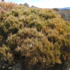 Allocasuarina nana (Dwarf She-oak) at Krawarree, NSW - 27 Sep 2021 by Liam.m