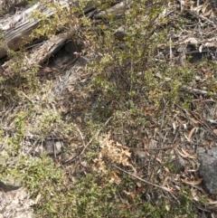 Podolobium ilicifolium (Prickly Shaggy-pea) at Krawarree, NSW - 27 Sep 2021 by Liam.m