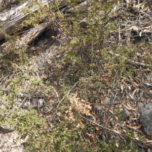 Podolobium ilicifolium (Prickly Shaggy-pea) at suppressed by Liam.m