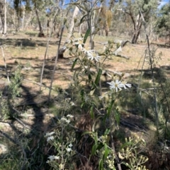 Olearia lirata (Snowy Daisybush) at Tombong, NSW - 18 Sep 2021 by BlackFlat