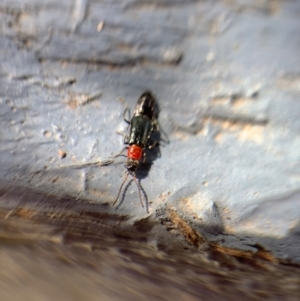 Carphurus sp. (genus) (Soft-winged flower beetle) at Murrumbateman, NSW by SimoneC
