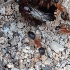Camponotus nigriceps (Black-headed sugar ant) at Bruce, ACT - 27 Sep 2021 by alell