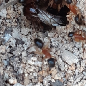 Unidentified Ant (Hymenoptera, Formicidae) (TBC) at suppressed by alell