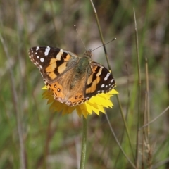 Vanessa kershawi (Australian Painted Lady) at Glenroy, NSW - 27 Sep 2021 by Kyliegw