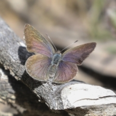 Candalides hyacinthinus (Varied Dusky-blue) at Bruce, ACT - 27 Sep 2021 by AlisonMilton