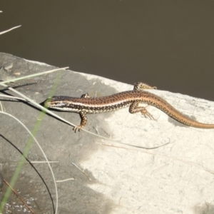 Eulamprus heatwolei (Yellow-bellied Water Skink) at Stromlo, ACT by Birdy