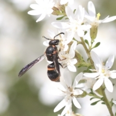 Eumeninae (subfamily) (Unidentified Potter wasp) at Bruce, ACT - 27 Sep 2021 by AlisonMilton