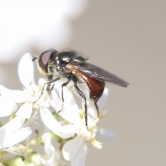 Syrphidae sp. (family) (TBC) at Bruce, ACT - 27 Sep 2021 by AlisonMilton