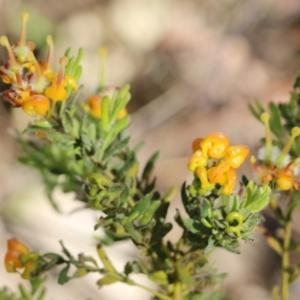 Grevillea alpina (Mountain Grevillea / Cat's Claws Grevillea) at Glenroy, NSW by Kyliegw