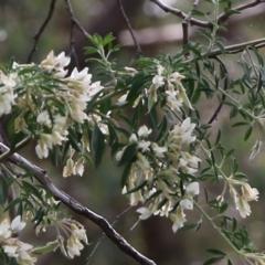 Chamaecytisus palmensis (Tagasaste, Tree Lucerne) at Glenroy, NSW - 27 Sep 2021 by Kyliegw