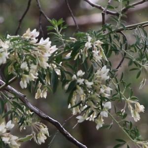 Chamaecytisus palmensis (Tagasaste, Tree Lucerne) at Glenroy, NSW by Kyliegw