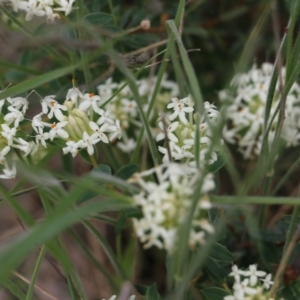 Pimelea humilis (Common Rice-flower) at Glenroy, NSW by Kyliegw