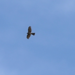 Accipiter fasciatus (TBC) at suppressed by Tammy