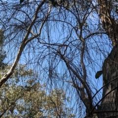 Allocasuarina verticillata (Drooping Sheoak) at Currawang, NSW - 3 Sep 2021 by camcols