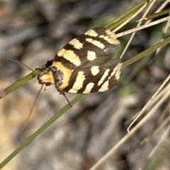Tanyzancla argutella (A concealer moth) at Tuggeranong DC, ACT - 26 Sep 2021 by RAllen