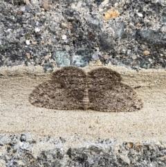 Zermizinga sinuata (Lucerne Looper, Spider Moth) at Majura, ACT - 27 Sep 2021 by Ozflyfisher