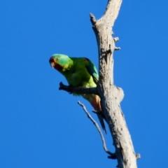 Lathamus discolor (Swift Parrot) at Hughes, ACT - 27 Sep 2021 by LisaH