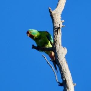 Lathamus discolor (Swift Parrot) at Hughes, ACT by LisaH