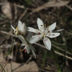 Wurmbea dioica subsp. dioica (Early Nancy) at Conder, ACT - 17 Sep 2021 by michaelb