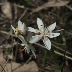 Wurmbea dioica subsp. dioica (Early Nancy) at Conder, ACT by michaelb