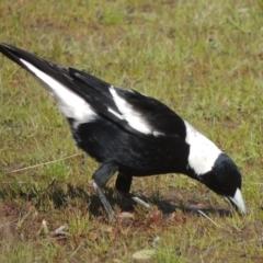 Gymnorhina tibicen (Australian Magpie) at Conder, ACT - 17 Sep 2021 by michaelb