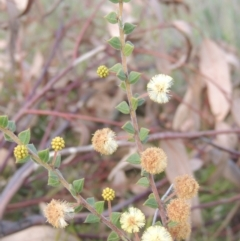 Acacia gunnii (Ploughshare Wattle) at Conder, ACT - 17 Sep 2021 by michaelb