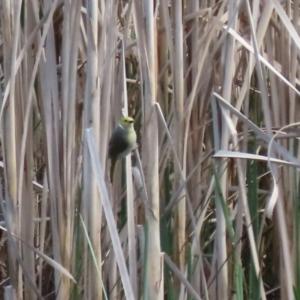 Ptilotula penicillata at Greenway, ACT - 27 Sep 2021