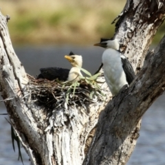Microcarbo melanoleucos (Little Pied Cormorant) at Greenway, ACT - 27 Sep 2021 by RodDeb