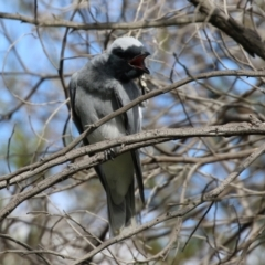 Coracina novaehollandiae (Black-faced Cuckooshrike) at Greenway, ACT - 27 Sep 2021 by RodDeb