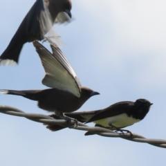 Artamus cyanopterus (Dusky Woodswallow) at Greenway, ACT - 27 Sep 2021 by RodDeb