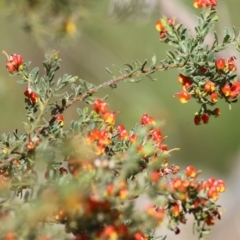 Grevillea alpina (Mountain Grevillea / Cat's Claws Grevillea) at Glenroy, NSW - 26 Sep 2021 by Kyliegw