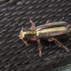 Lemidia subaenea (Clerid beetle) at Dunlop, ACT - 28 Sep 2021 by Christine