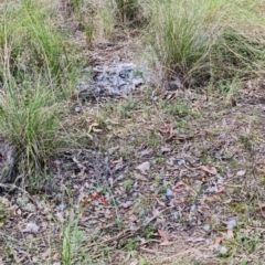 Callocephalon fimbriatum (Gang-gang Cockatoo) at Stromlo, ACT - 28 Sep 2021 by RobG1
