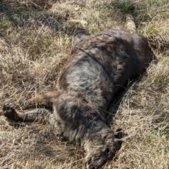 Macropus robustus (Wallaroo) at Stromlo, ACT - 28 Sep 2021 by HelenCross
