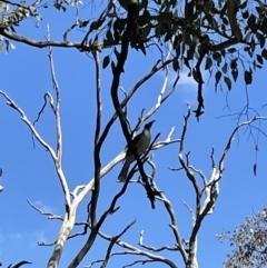 Philemon corniculatus (Noisy Friarbird) at Cook, ACT - 28 Sep 2021 by JVR