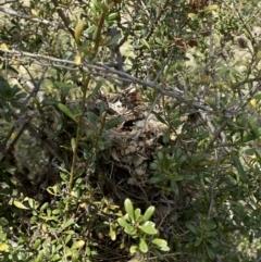 Acanthiza chrysorrhoa at suppressed - 28 Sep 2021