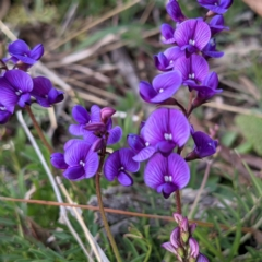 Swainsona monticola (Notched swainson-pea) at Stromlo, ACT - 28 Sep 2021 by HelenCross
