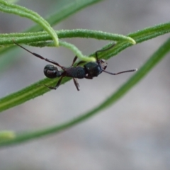 Unidentified Ant (Hymenoptera, Formicidae) (TBC) at Jerrabomberra, ACT - 27 Sep 2021 by AnneG1