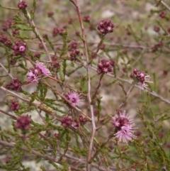 Kunzea parvifolia (Violet kunzea) at Holt, ACT - 27 Sep 2021 by pinnaCLE